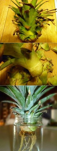 First, Firmly twist the crown off. It will come off fairly easily. Then take the crown and pull off the lower leaves until you have about an inch or more of the core. You don't need them and they will get in the way of rooting the pineapple. Fill a ja...
