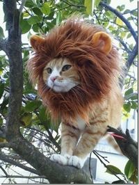 Lion cat - Click image to find more Hair & Beauty Pinterest pins