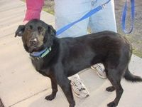 Meet Sweet Lucy, an adoptable Black Labrador Retriever looking for a forever home. If you're looking for a new pet to adopt or want information on how to get in