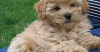 Daisey's Goldendoodles: Holiday F1b Mini Goldendoodle Puppies, 2009