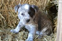 "Meet a cute Australian Cattle Dog/Blue Heeler female puppy for sale ""Sky"""