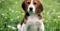 the BEAGLE- The beagle is not the ideal family dog because it is soooo active. If you are an active house-hold, this is the perfect dog for you.