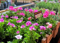 Have you ever thought about how plants were grown? Well a plant nursery is a spot intended to proliferate and nurture youthful plants. Frequently a nursery plants will have a nursery which is a temperature controlled building that shields the plants from ...