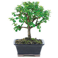 The Dwarf Jade is one of the easiest indoor bonsai to grow and is recommended for beginners. Small, rounded, fleshy leaves contrast nicely with straight, substantial trunks. Dwarf Jade trees adapt well to a variety of light conditions and can manage witho...