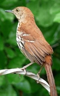 The Brown thrasher is Georgia's state bird. It can grow to almost a foot in length.