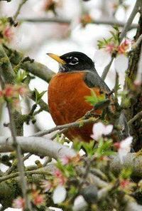 Robin Redbreast... This looks like a California Robin. They are the first large bird to appear in spring. They always make me smile. Planting the garden is right behind the first sighting.