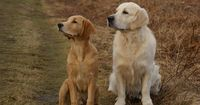 Dogs have been alongside humans for thousands of years and were domesticated originally to help people accomplish things during daily life. Dog breeds have vary