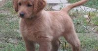 """Golden cocker retriever (full grown)...it always looks like a puppy"