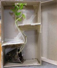 This project shows students that plants will always grow towards the light. We could use this in our unit when we discuss the basic needs of plants including water and light. Students would enjoy seeing which direction the plant grows. We could ask them t...