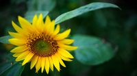 Beautiful yellow Sunflower HD picture
