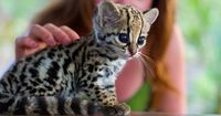 Baby Ocelot kitten... too cute for words.