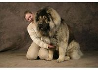 TheCaucasian Shepherdalso known as the Caucasian Ovcharka is an ancient breed that for centuries was little known outside the remote regions from which it hails, namely the Caucasus which incorporate: Georgia, Armenia, Azerbaijan, Dagestan, Iran and T...