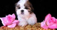 cute shih tzu puppy pictures - Bing Images