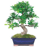 Imported from China, our Golden Gate Ficus have been meticulously trained for wonderful trunk movement. The Chinese have hand-wired every tree to create the trunks' beautiful swirl. The small dark green leaves make the Golden Ficus perfectly suited ...
