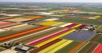Dutch farmers tip-toe through the tulips as landscape is transformed into a spectacular display of colour