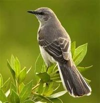 We don't have many Robins but we do have N. Mockingbirds!