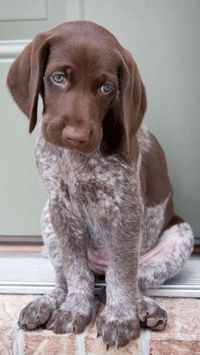 short hair, german shorthaired pointer and puppies.