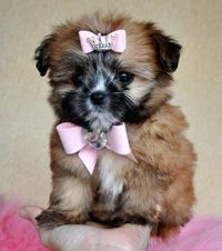Tiny Imperial Shihapom PuppyWOW So Cute!!1.7 lb at 8 weeks!SOLD Found Loving Family!