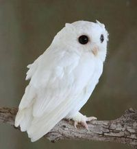 White queen Albino screech owl~I LOVE owls... next to horses of course :)