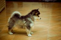 Posts similar to: Pomeranian Puppies For Sale In PA - Juxtapost