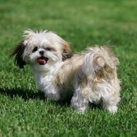 I've always been a big dog person but those Shih-Tzus have really stolen my heart!