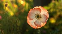 Beautiful Opened Poppy Flower Wallpaper