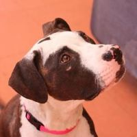 08000 Tabatha is an adoptable Pit Bull Terrier Dog in Oakland, CA. Hey! Thanks for stopping by. My name is Tabatha. I'm a energetic 3-year old pit bull terrier girl with lots of love to give. I came t...