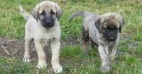 The Anatolian Shepherd Dog is a hard worker. Amazing guard dogs, you'll find that this breed is very loyal to its owner. Easygoing and calm, the Anatolian lov..