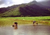 The Reign of Rice in Hawaii