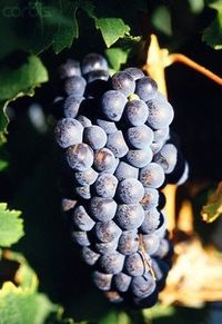 When grapes ripen, they usually do so at the same time, leaving you with a large harvest and only a limited time during which the grapes are usable. Whether the