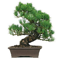 Japanese Five Needle Pine is called the Prince Of Pine Bonsai. This specimen tree has the age necessary to make a statement. The trunk movement along with the contrast of the aged bark and green foliage are proof of years of training. What a great Specime...