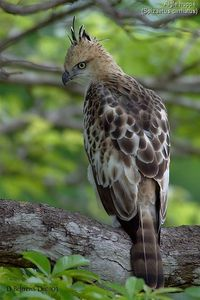 The Changeable Hawk Eagle - Nisaetus cirrhatus, is a bird of prey that breeds in the Indian Subcontinent, across Southeast Asia, Indonesia and the Philippines.