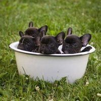 Bowl O' frenchies.... OMG, Can you say cute?!?!