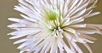spider mum - we used this flower to decorate at our reception