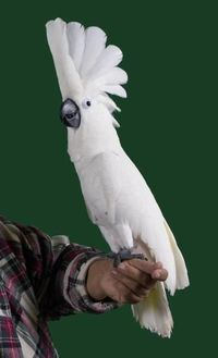 Gorgeous Umbrella cockatoo: pure white